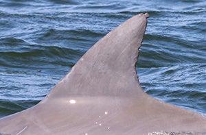 Dolphin fin in potomac