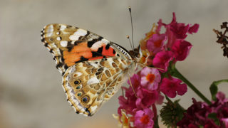 Painted Lady butterfly alighting on flower