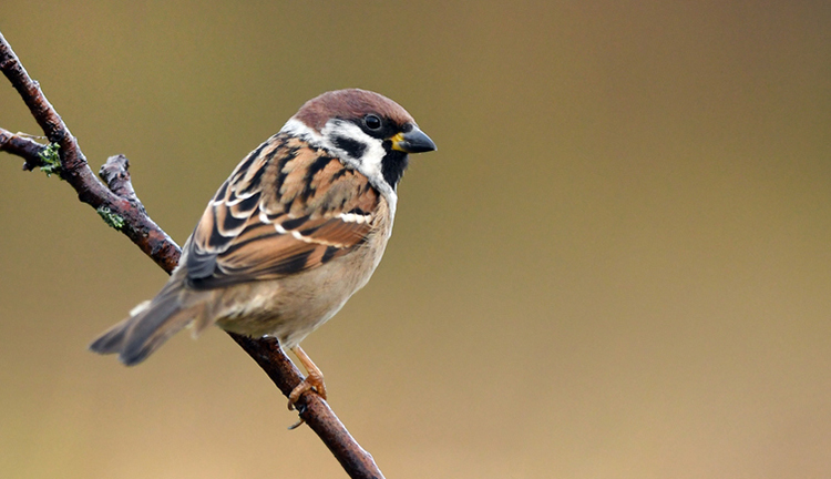 Tree sparrow sitting on a branch