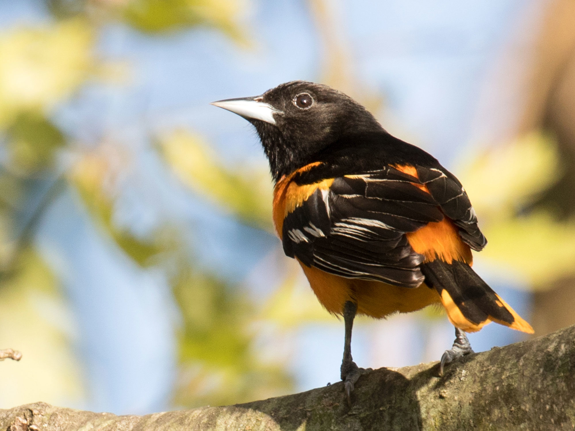 Oriole sits on a branch