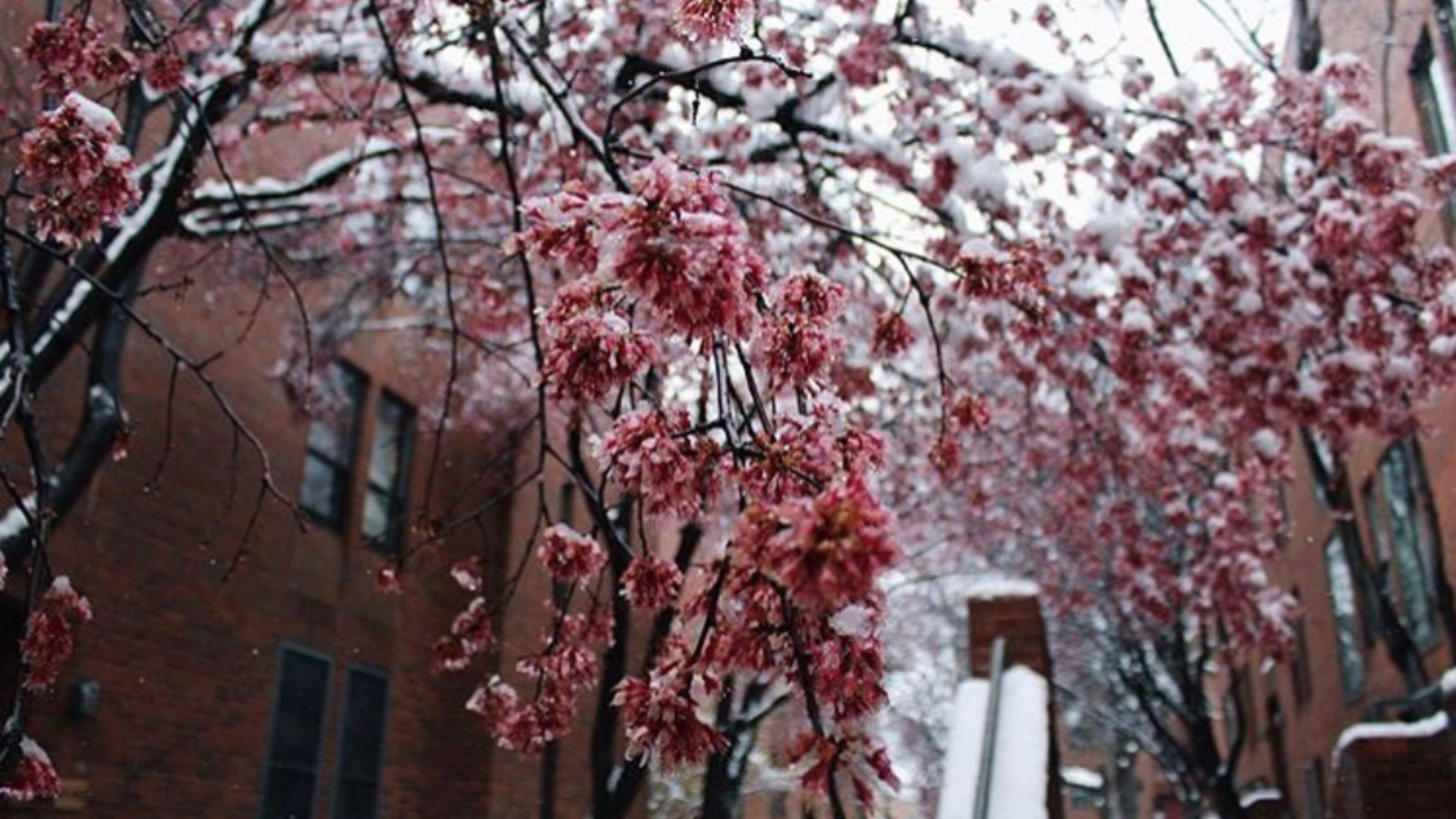 Cherry blossoms bloom on campus