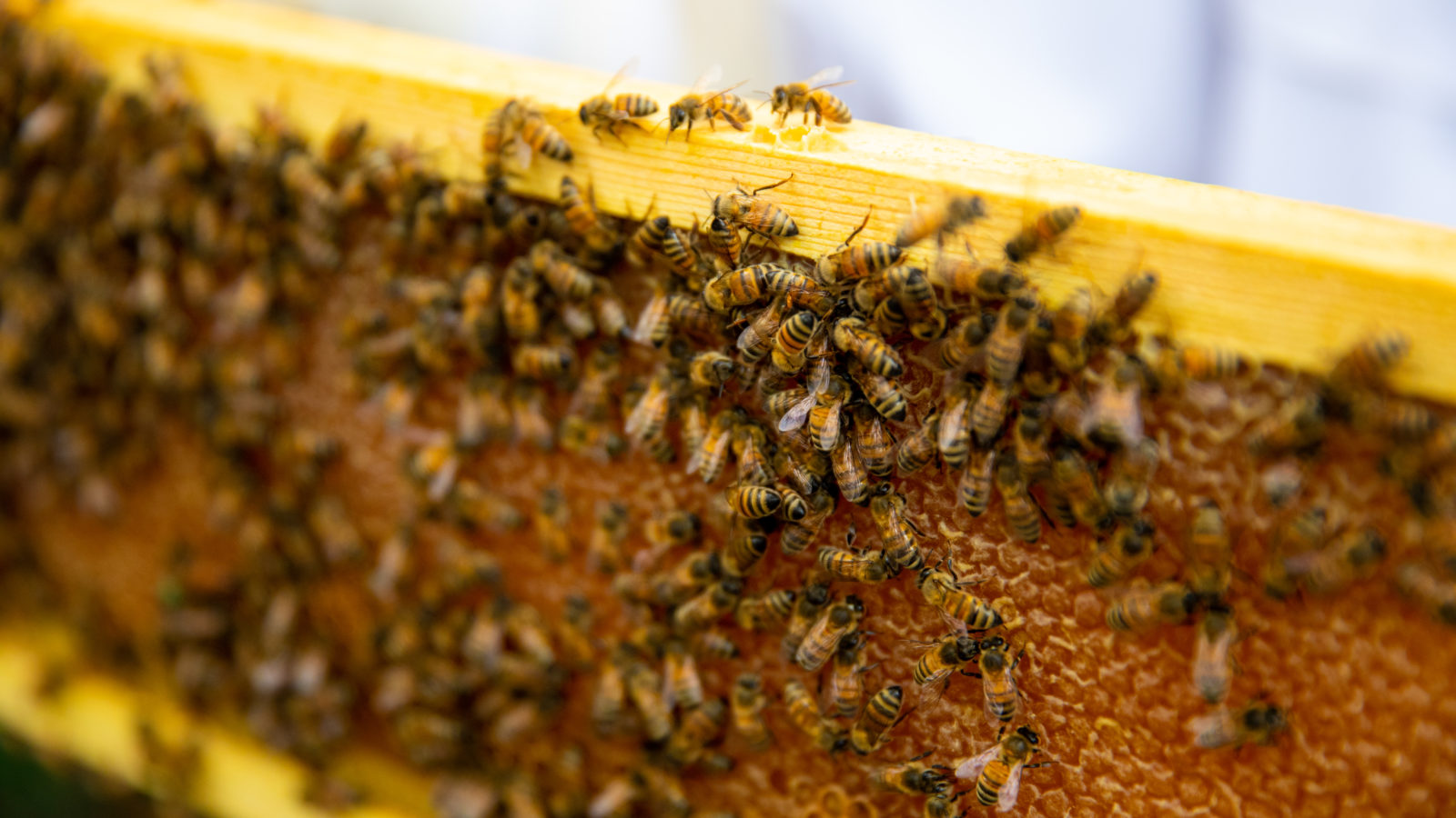 A tray of honey bees