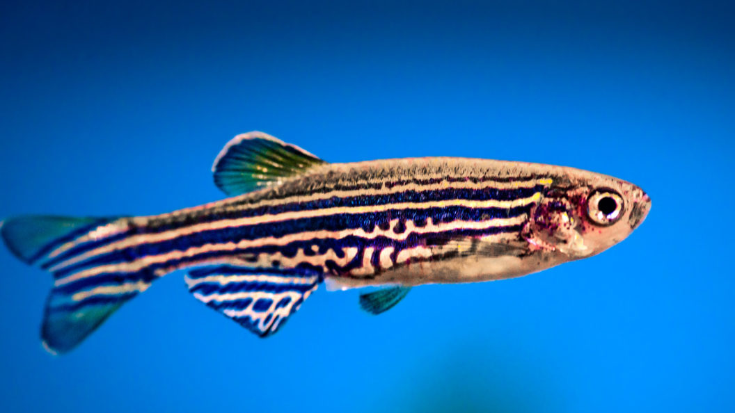 A Zebra fish floating in space on a blue background