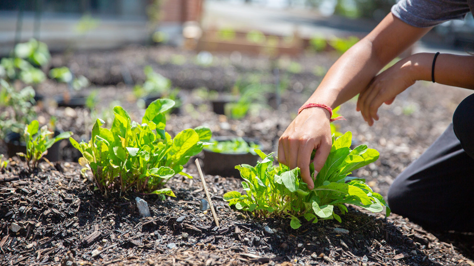 A hand tends to plantlife in soil.