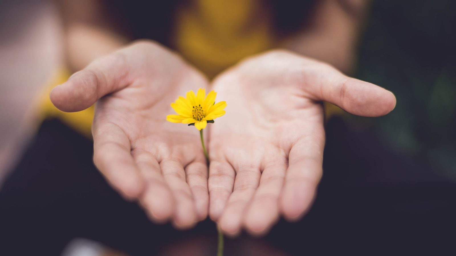 A pair of hands hold a single flower upright with both hands open.