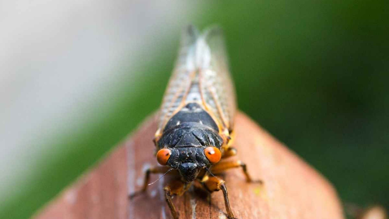 Cicada with orange eyes and closed wings