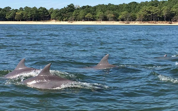 a pod of dolphins swim together in the Potomac River