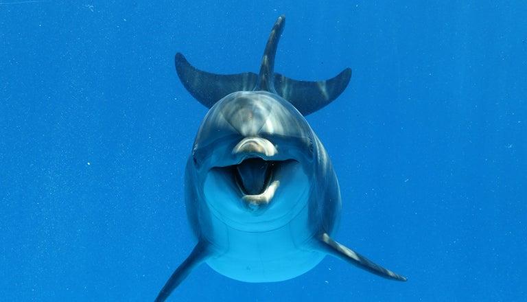Bottlenose dolphin swimming in the ocean