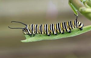 monarch caterpillar climbing on a leaf