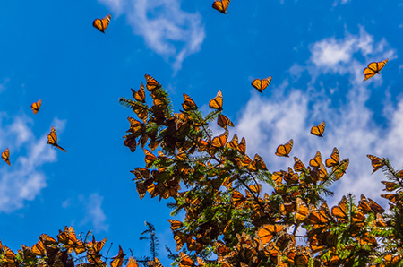 monarch butterfiles in a clear sky and clustered on branches of a tree